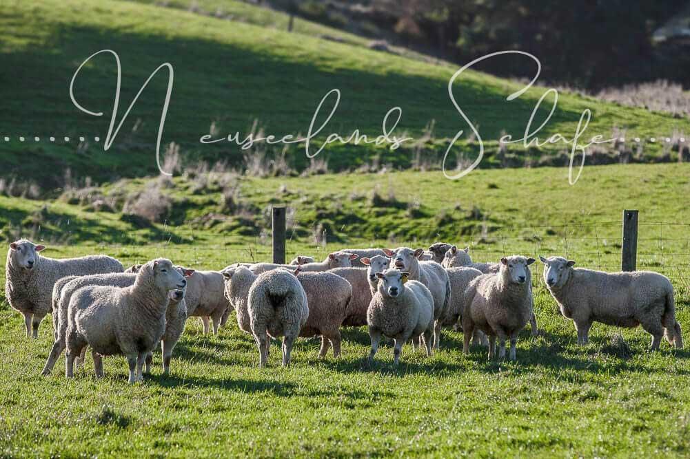 Die Schafe und Blow Hole in Neuseeland