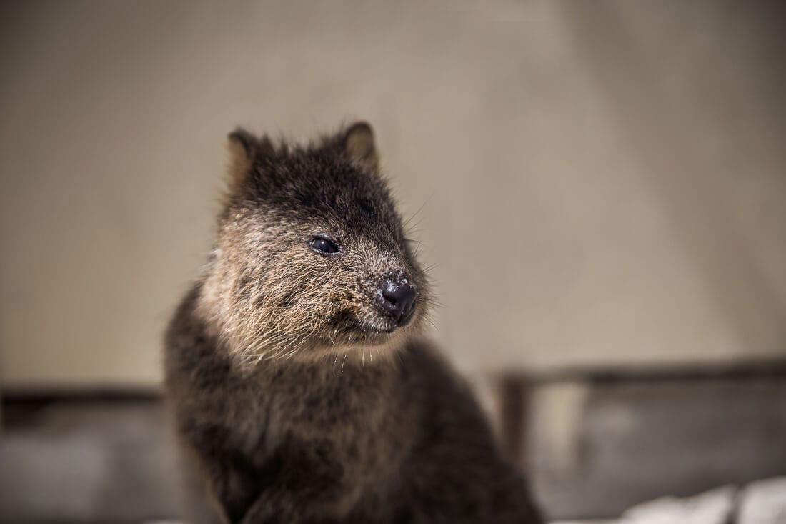 Quokka Rottnest Island Australien