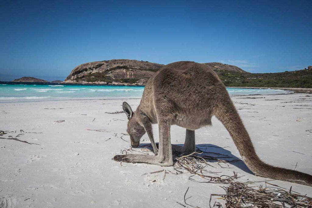 Känguru am Strand von Lucky Bay
