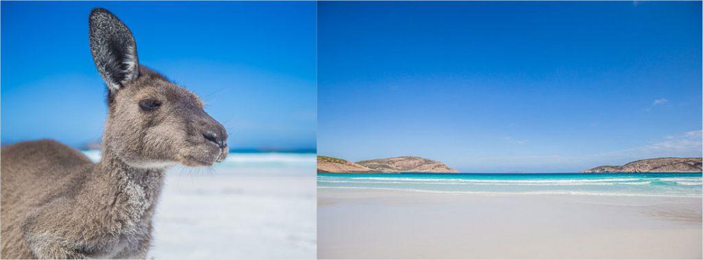 Känguru am Strand von Australien