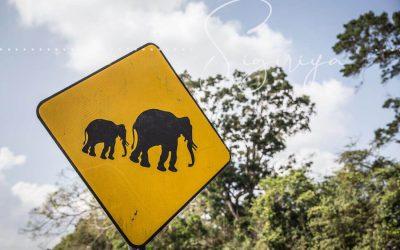 Sigiriya – Elephants are crossing