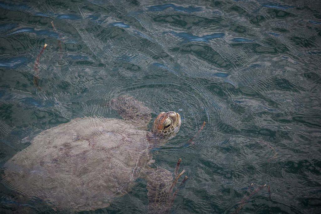 Wasserschildkröte im Meer