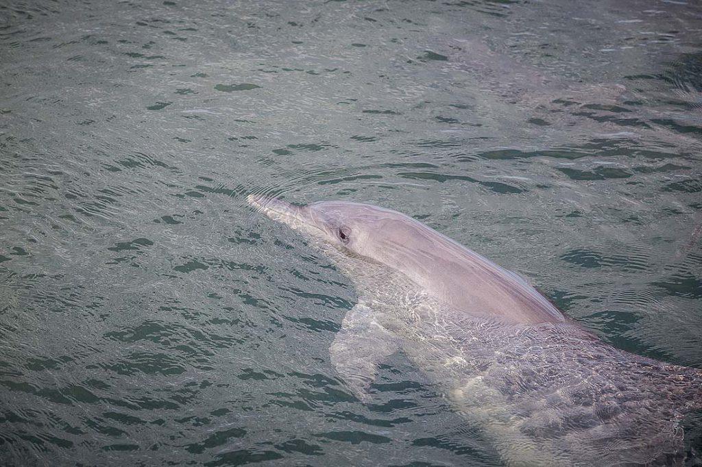 Delfin im Wasser in Monkey Mia Australien