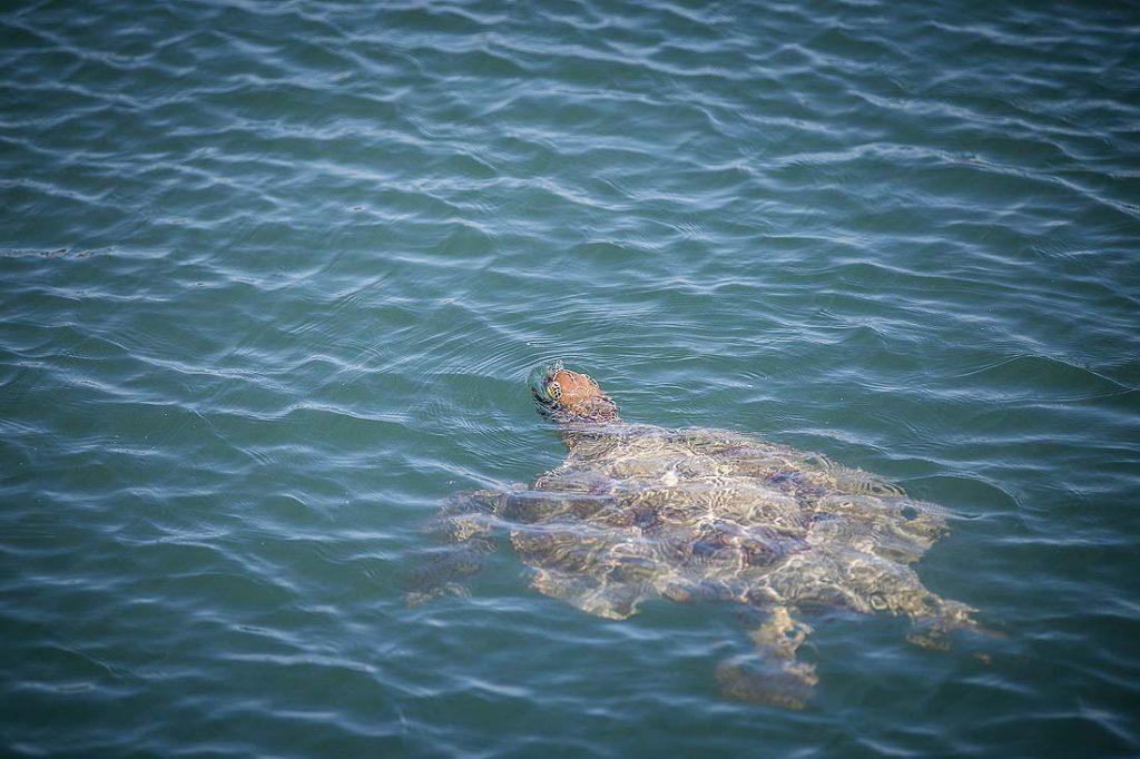 Wasserschildkröte im Wasse in Monkey Mia