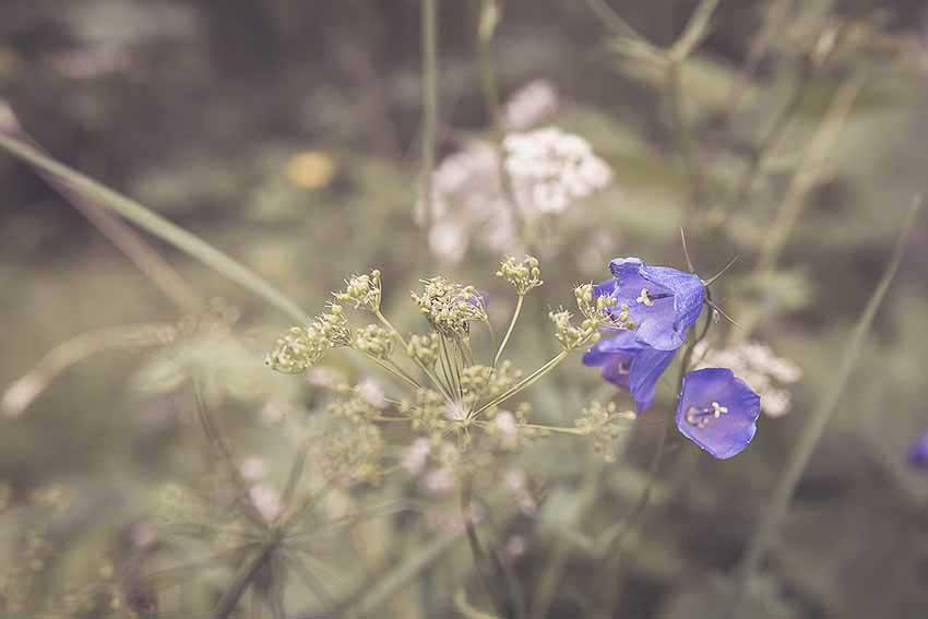 Blumen Rabenkopf